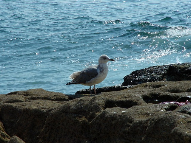 bird, seagull, sea