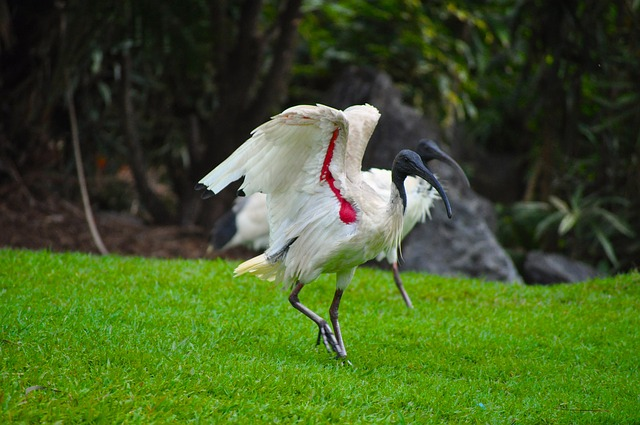 bird, wildlife, australian ibis, feather, nature