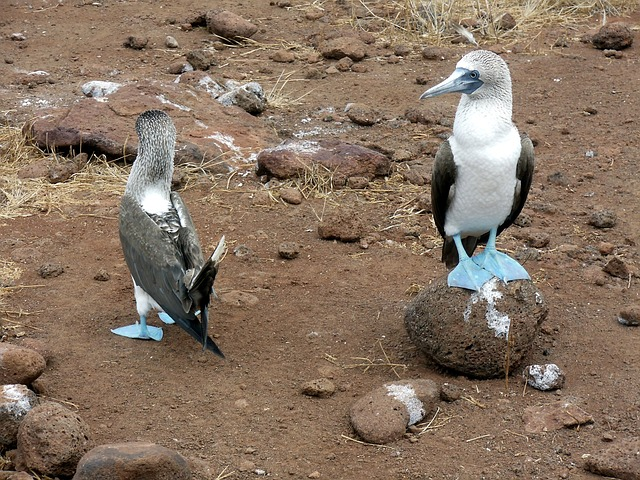 birds, bird, blue, footed, boobie, galapagos, islands