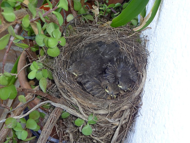 bird's nest, blackbirds, young birds, chicks, bird