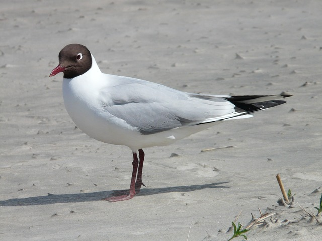 black headed gull, seagull, bird