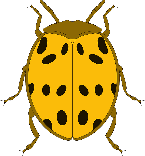 black, top, view, yellow, ladybug, wings, beetle