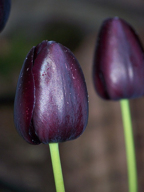 black, tulip, flower, two, nature, spring, dew, bloom