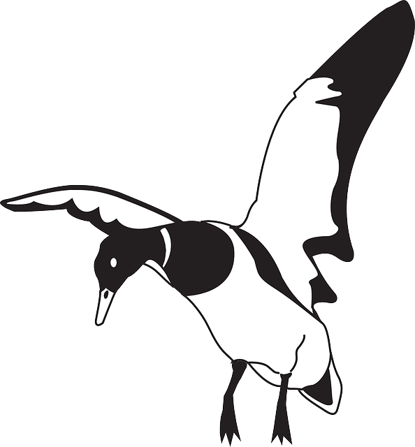 black, white, bird, duck, wings, animal, landing, beak