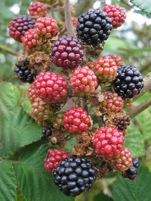 blackberries, unripe, fruit, black, berries, food