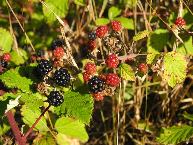 blackberry, nature, wild, sweet, thorns, spur, plant