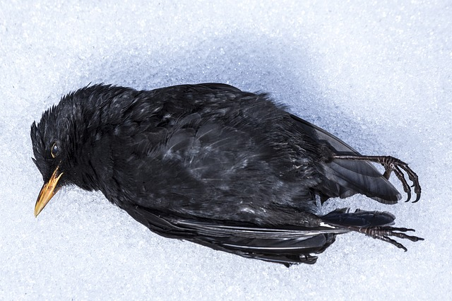 blackbird, bird, winter, snow, nature, die, freeze