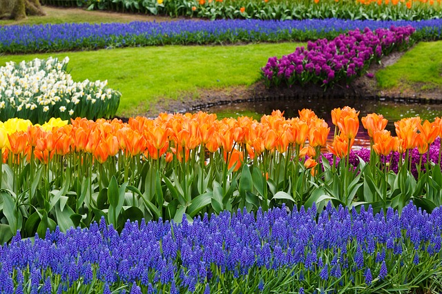 blossom, tulips, color, colorful, grape, hyacinths