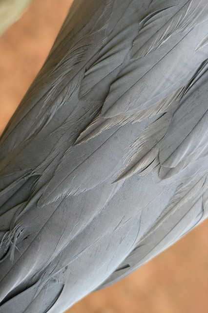 blue crane, bird, plumage, blue-grey, feathers