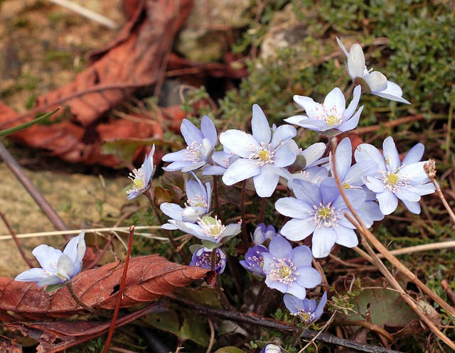 blue, flowers, plants, spring, early, garden, floral