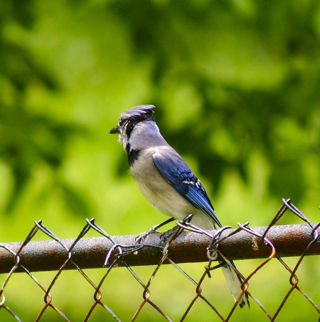 blue jay, bird, feathered, animal, colorful, beautiful