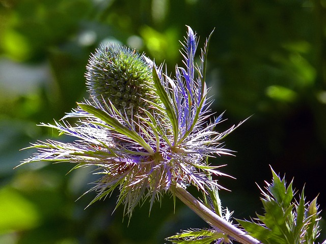 blue, thistle, garden, flower, plant