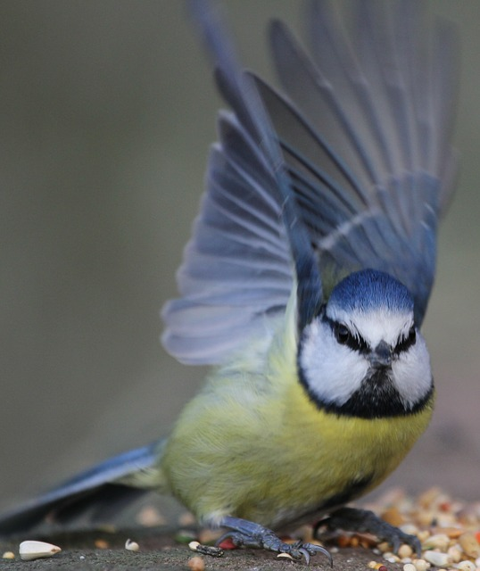 blue tit, bird, hungry, blue, tit