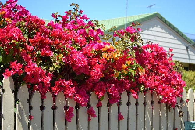 bougainvillea, plant, nature, flower, photography
