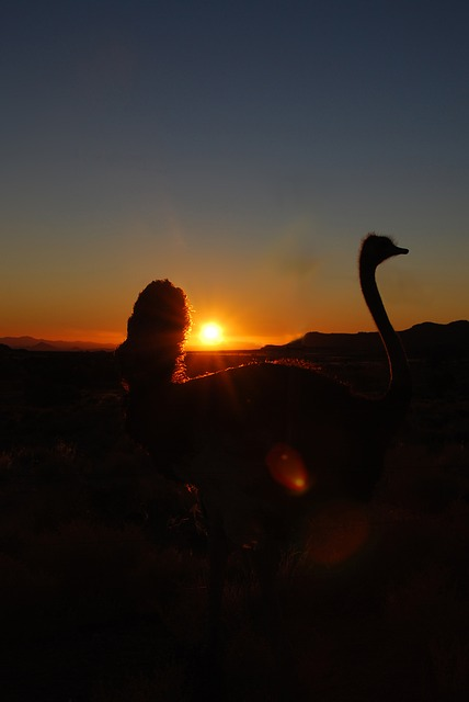bouquet, sunset, ostrich, africa, namibia, back light