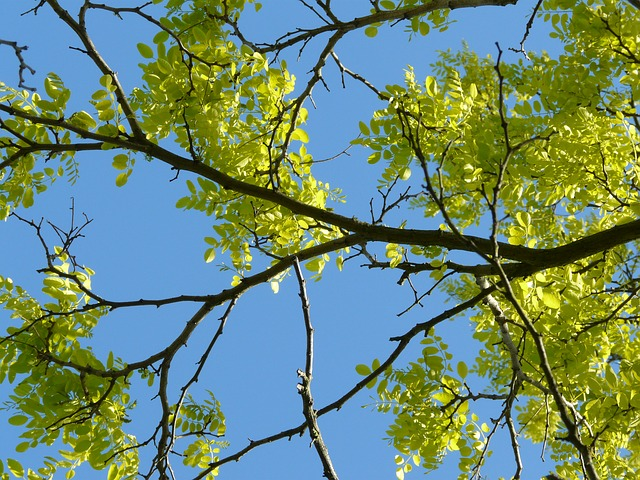 branches, robinia, spring, sky, nature, tree