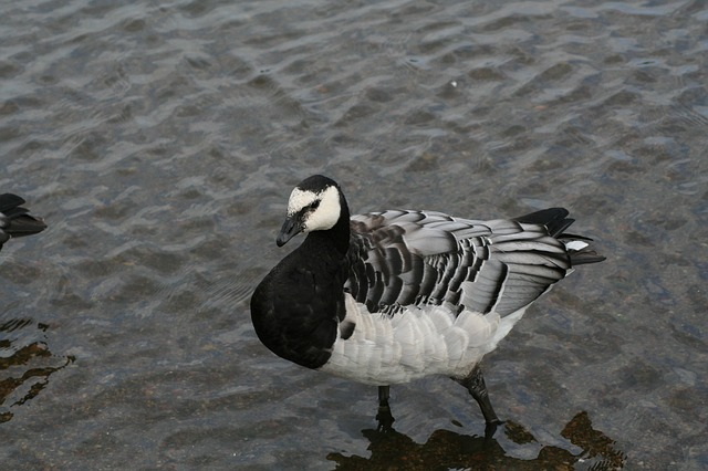 branta, leucopsis, bird, animal barnacle goose