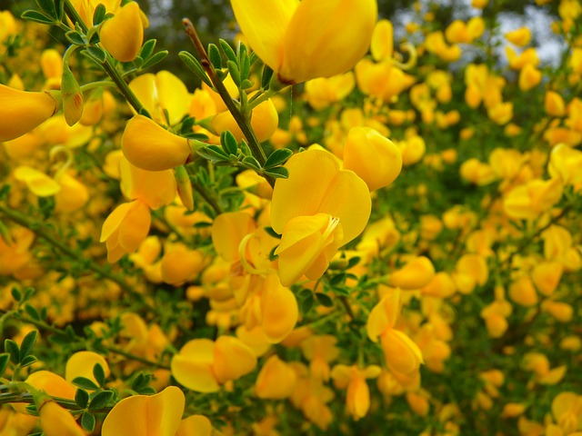 broom, flower, yellow, smell, nature, toxic