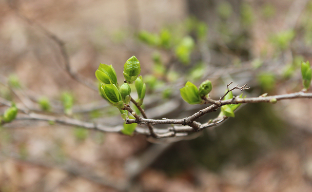 bud, spring, young