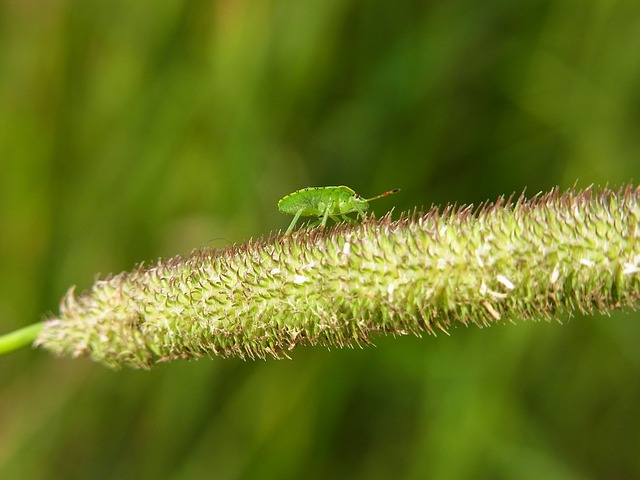 bug, leaf bug, insect, animal, forest, meadow