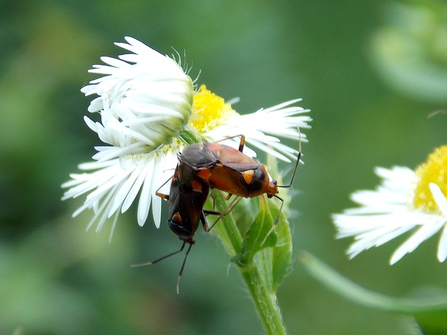 bugs, pairing, daisy, meadow, pets, flowers, insect