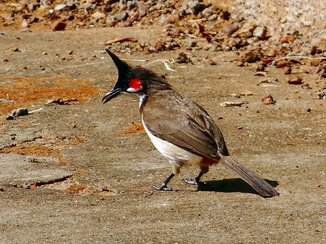 bulbul, bird, red-whiskered, dharwad, india