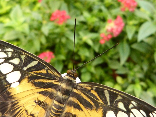 butterfly, insect, animal, nature, wing, flight insect