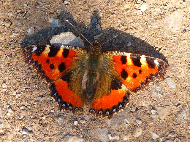 butterfly, little fox, colorful, orange, animal, color
