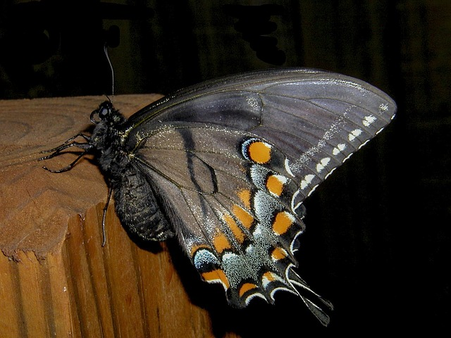 butterfly, night, insect, falter, close up, backyard