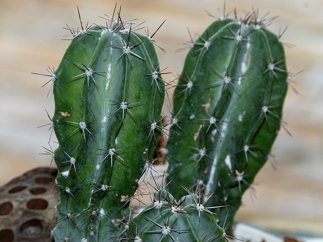 cactus, green, nature, plant