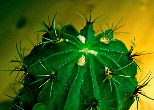 cactus, spur, exotic, green, plant, aua, nature, well