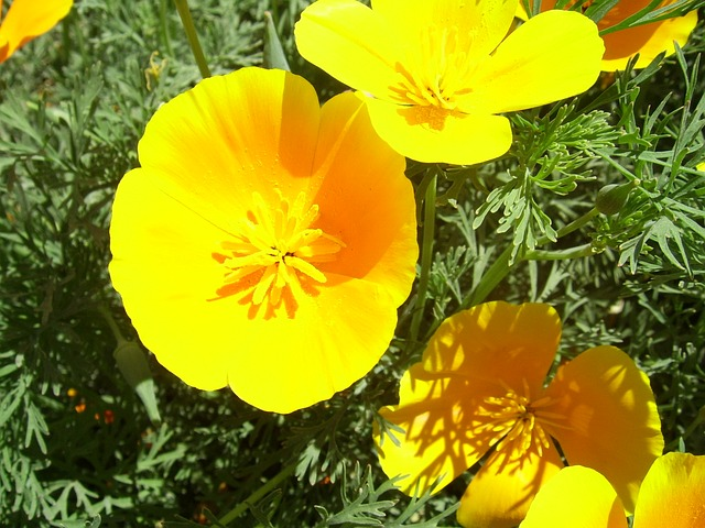 californian, poppy, yellow, flower