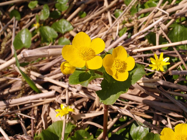 caltha palustris, nature reserve, moor, forest, flowers