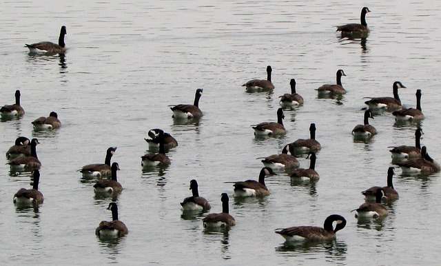 canada geese, waterfowl, coulter, bird, pets, nature
