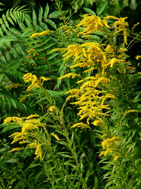 canadian goldenrod, golden rod, bush, plant, yellow