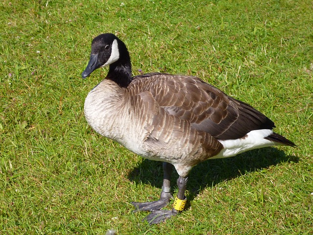 canadian goose, water bird, animal world, nature