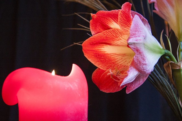 candle, advent, candlelight, amaryllis, flower, plant