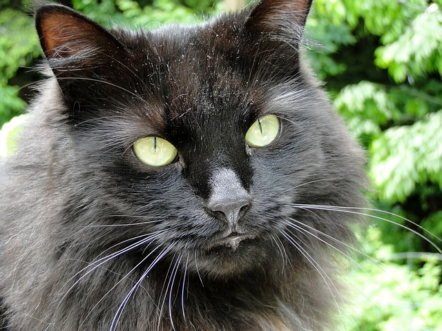 cat, black, animal, pet, face, eyes, cats