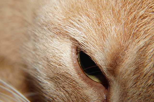 cat, head, eye, beauty, noble, portrait, face, macro