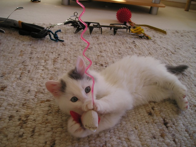 cat, play, playful, young, animal, pet, cute