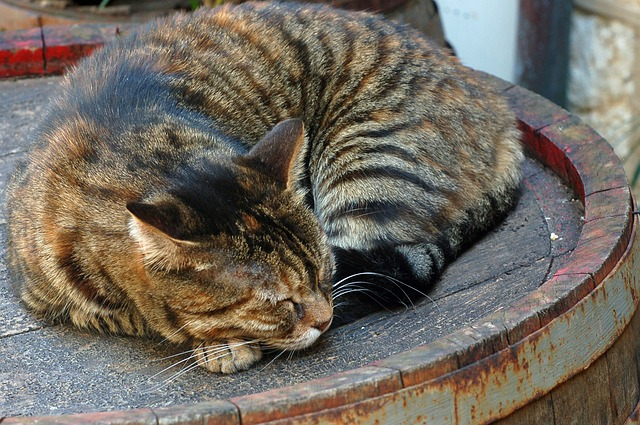 cat, tabby, brown, stripy, barrel, rusty