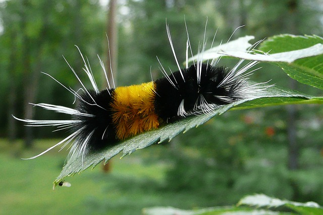 caterpillar, colorful, yellow, black, hairy, nature