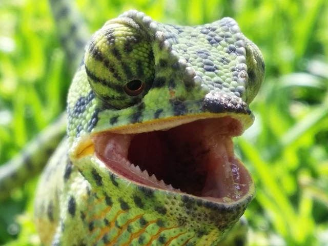 chameleon, reptile, head, green, camouflage