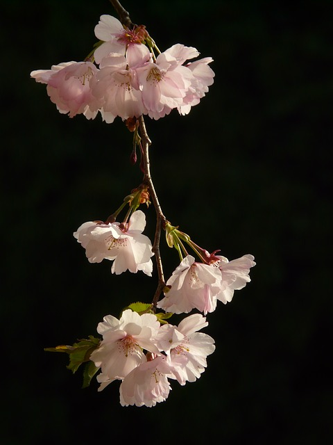 cherry blossom, flower, tree, japanese cherry