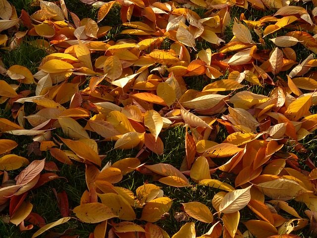 cherry sheets, leaves, autumn, meadow, park, cherry
