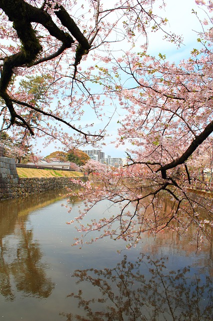 cherry, the moat, castle, spring, plant, japan