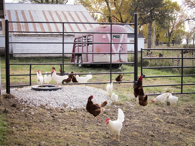 chickens, farm, hen, animals, birds, farm land