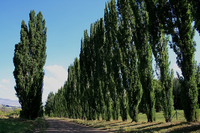 clarens countryside, rows of trees, trees along road