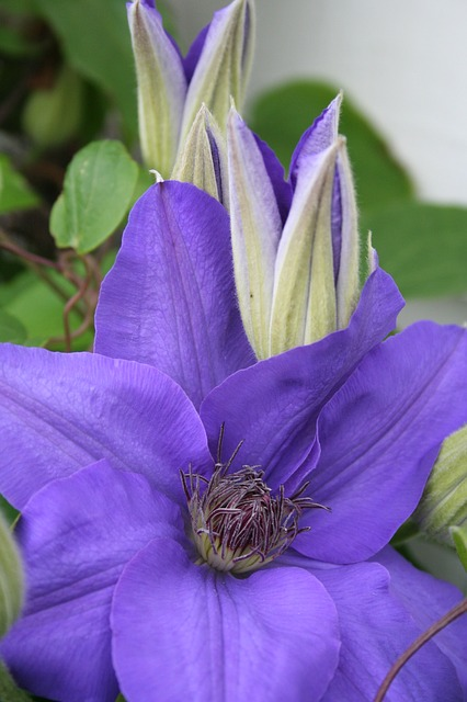 clematis, flower, purple, summer