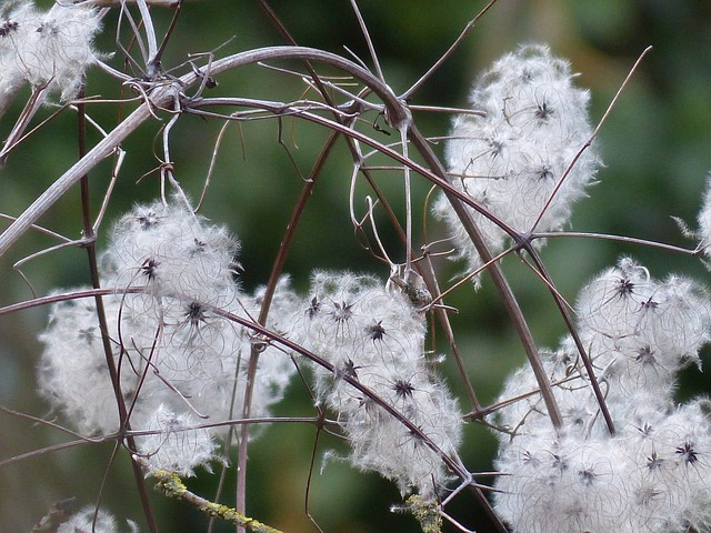 clematis, liane, plant, clematis vitalba, pods, soft